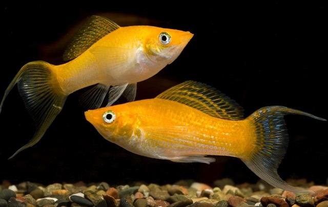 Gambar Ikan Molly - Budidaya Ikan