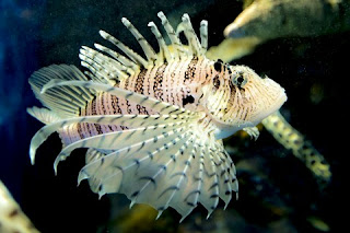 Jenis Ikan Hias Air Laut Lion Fish