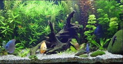 Apakah Ikan di Aquarium Bisa Besar