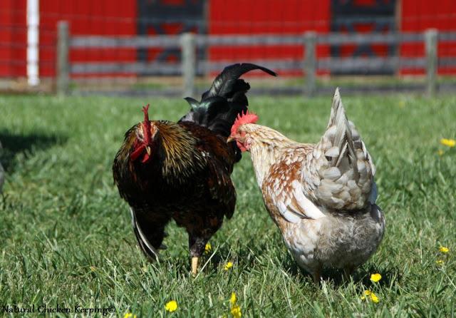 Natural Chicken Keeping: Do You Speak Chicken? Flock Social Behavior