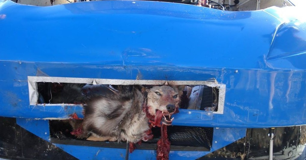 Pictures Jokes And Other Stuff Coyote Hit By Nascar Driver Brad Coleman