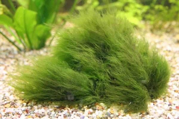 How to fix algae growth in aquarium