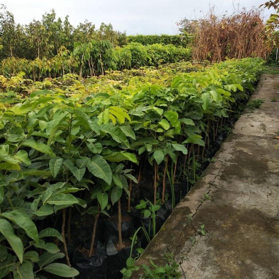 PAKET BIBIT TANAMAN BUAH KELENGKENG Merah Matalada Aroma durian TERBUKTI Super Genjah Jawa Timur
