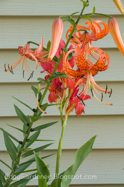'Tiger Lily' Lilium lancifolium  and Canna (no name) @ Edgygardener.blogspot