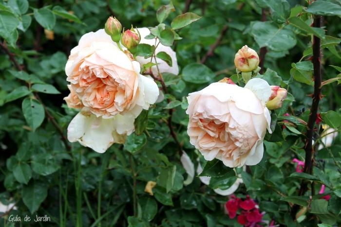Rosas y salvias