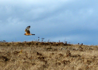 Red-shouldered Hawk in flight, Bodega Head, California