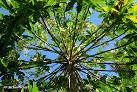 Papaya tree flowers - Greenwell Coffee Farms, Big Island, HI