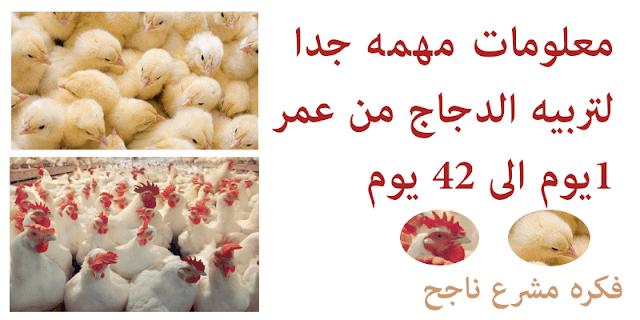 طريقة تربية الدواجن من عمر 1 يوم الى 42 يوم