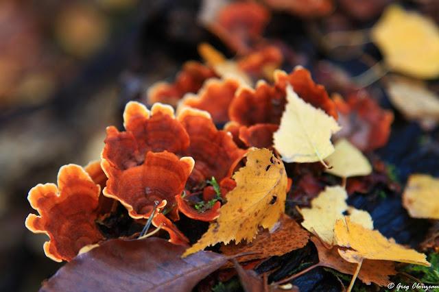 Les stérées comptent également par leurs belles couleurs fauves parmi les plus beaux champignons mangeurs de bois