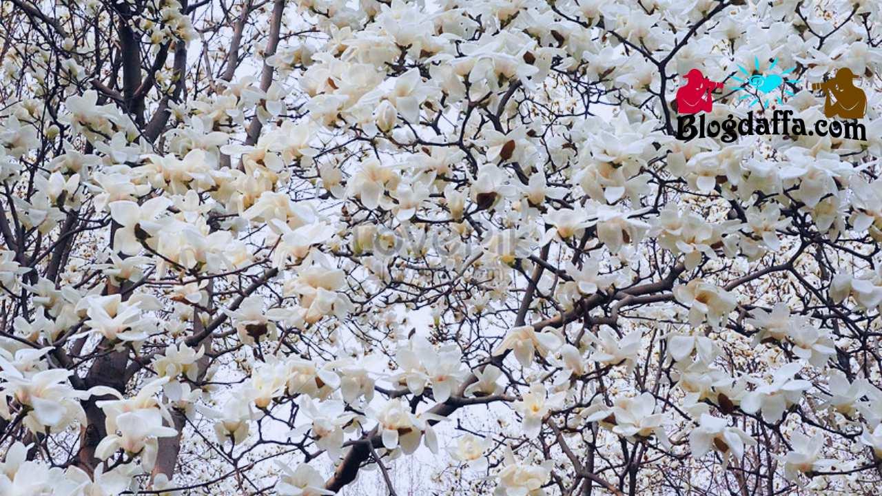 Magnolia Bintang (Magnolia stellata)