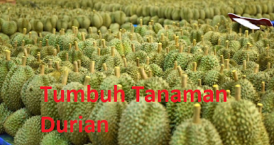 Syarat Budidaya Tumbuh Tanaman Durian