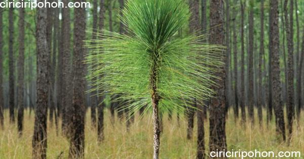 ciri ciri pohon pinus longleaf