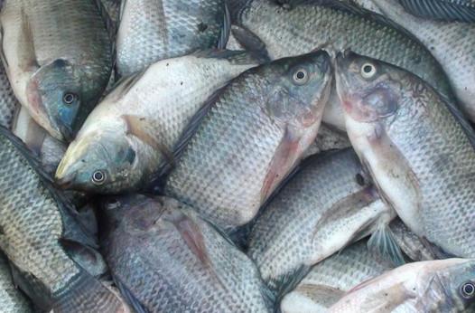 Resep Umpan Mancing Ikan Nila Buatan Sendiri Agar Cepat Dimakan