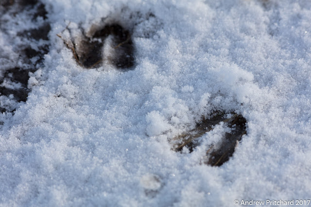 Two deer hoof prints in light snow next to the edge of human boot print.