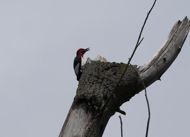 Red-headed Woodpecker - Oak Openings Preserve, Ohio, USA