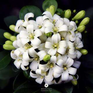 การนำจุดเด่นของพรรณไม้ดอกหอมชนิดต่างๆ มาใช้ประโยชน์ในวิถีชีวิตคนไทย