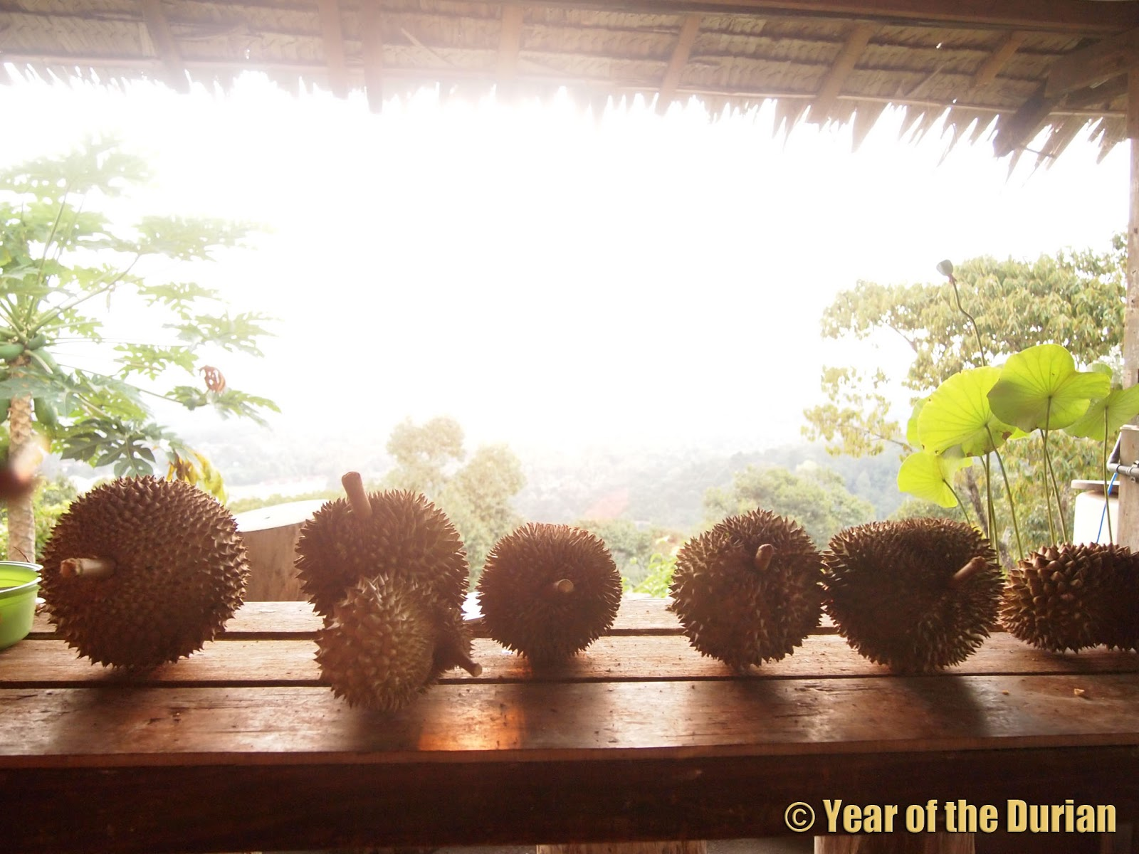 Durio zibethinus *UNCLE CHAN* seed Durian king of fruit coming My garden