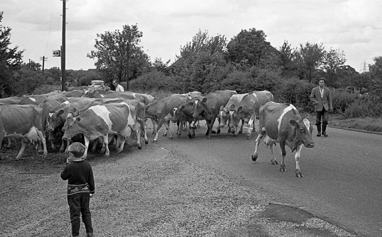 Photograph of cattle crossing The Great North Road in 1966. Image from Ron Kingdon