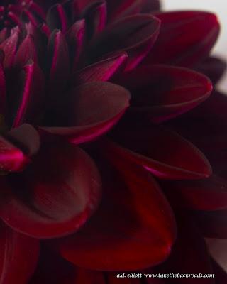 A macro photograph of a black dahlia and a blurb about dahlias