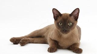 Gambar Kucing Burmese