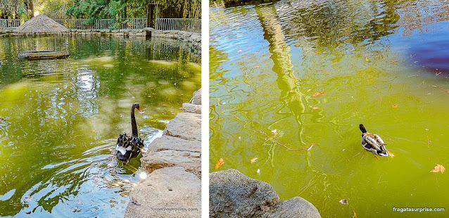 Cisnes e patos no lago do Campo del Moro, Madri
