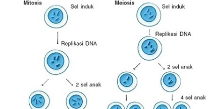 Pembelahan Sel Perbedaan Mitosis Dan Meiosis