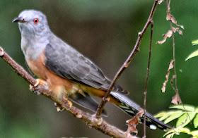Burung Kedasih Suara Burung Paling Dihindari Para Kicau Mania