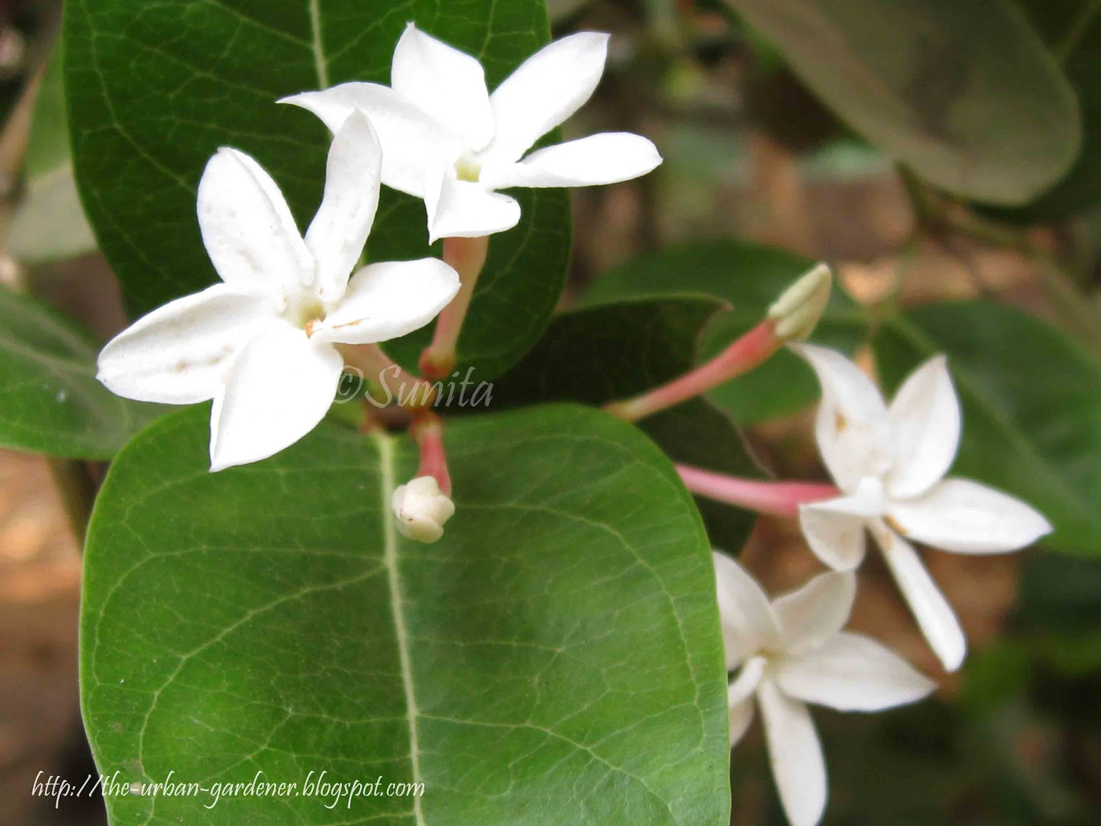Nice white star like flowers mold wedding and flowers ispiration old fashioned white flower that looks like a star inspiration mightylinksfo