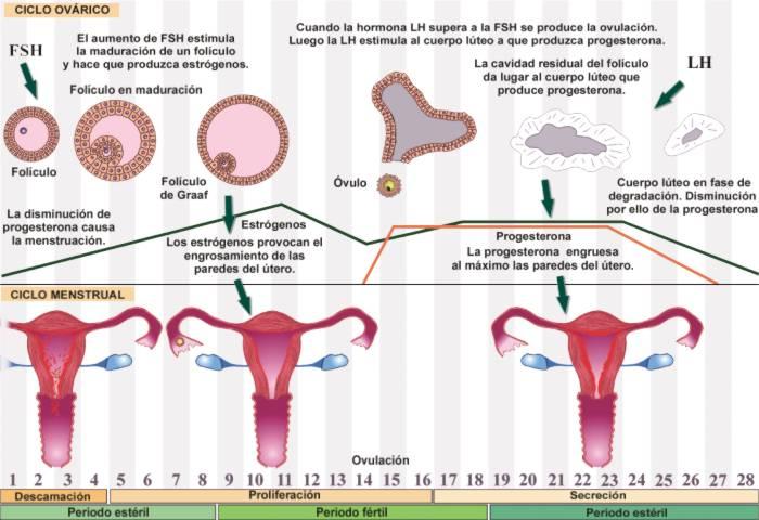 Explicar el ciclo menstrual yahoo dating 9