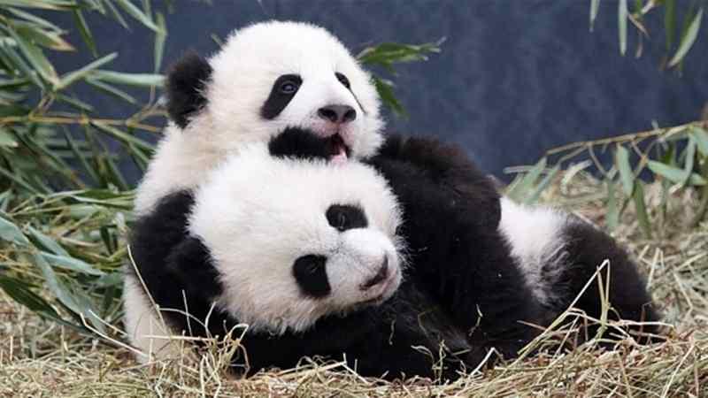 fakta tentang panda