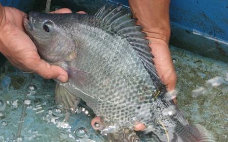 Peluang Usaha Budidaya Ikan Nila