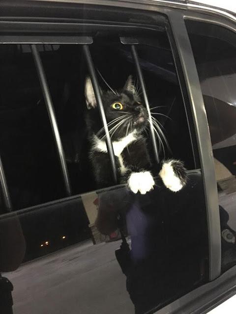 Polícia prende gato suspeito de furto nos EUA