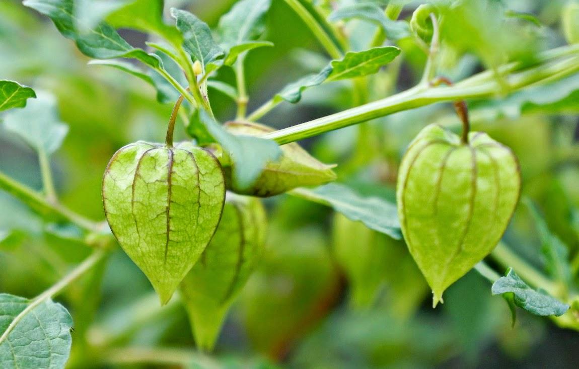 cara memanfaatkan tanaman ceplukan dalam dunia pengobatan