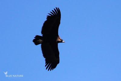 Buitre negro (Aegypius monachus) en vuelo