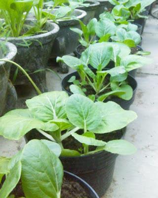 cara menanam sawit dalam Pot