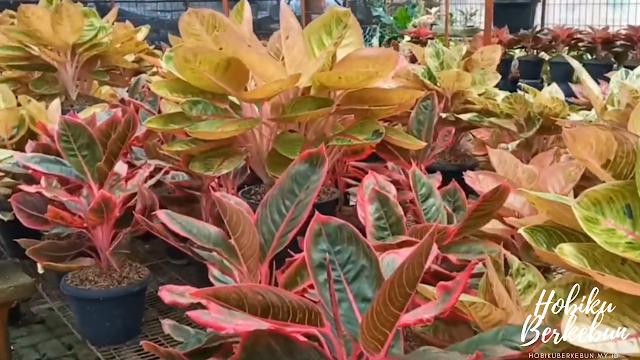 Mengenal tanaman aglaonema beserta perawatannya agar tumbuh subur