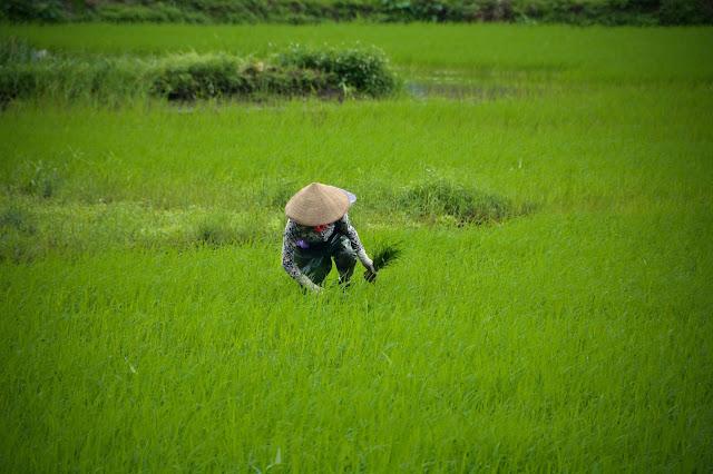 Tam Coc rice