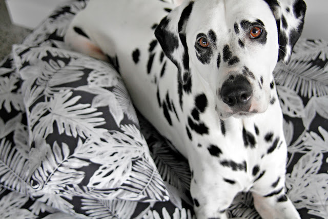 Dalmatian dog lying on a black and white dog bed with pillow