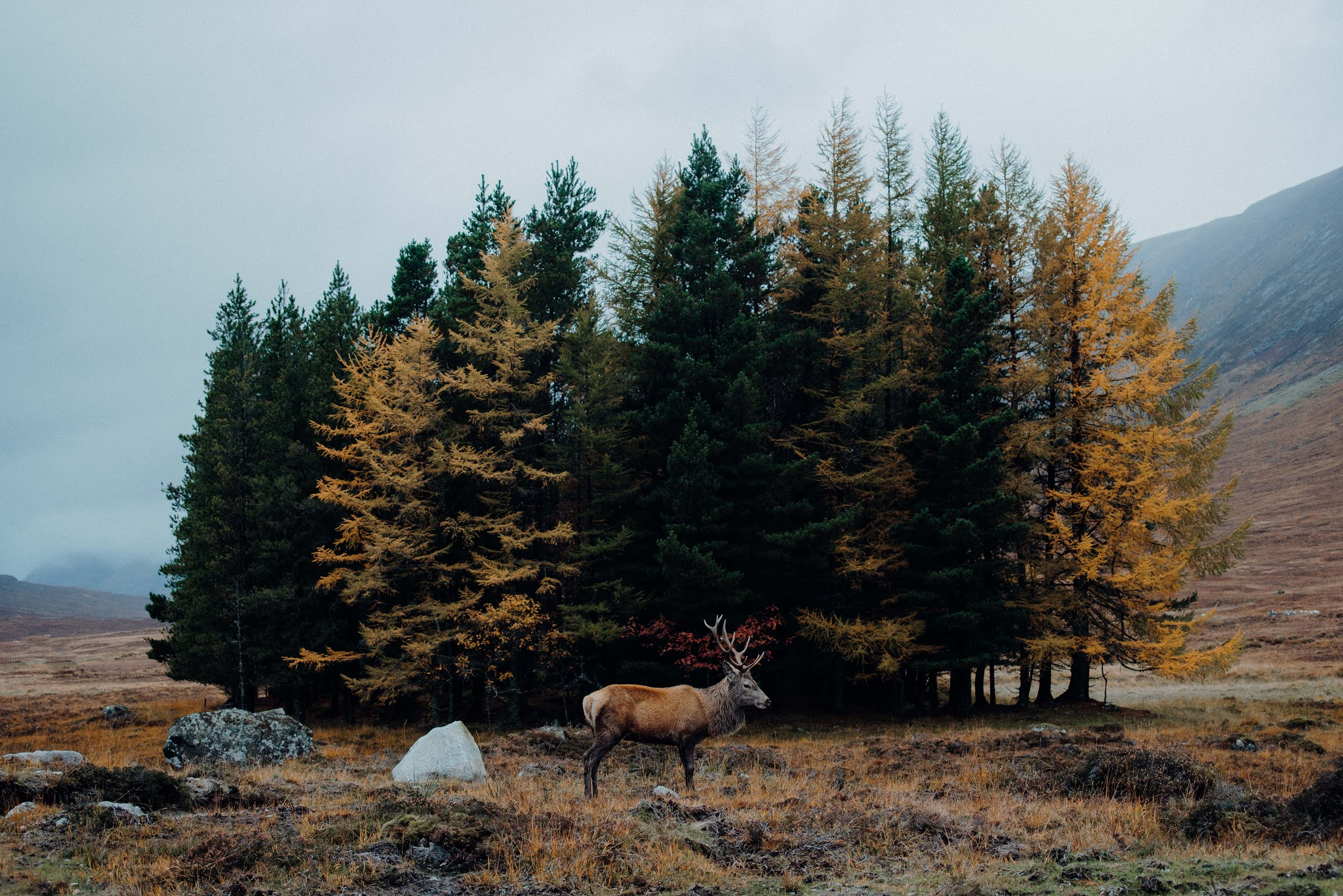 deer stag spotting glencoe liquid grain scotland