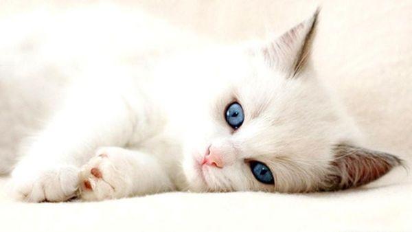 bulu kucing anggora