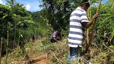 Bamboo contour lines livingston, guatemala agroforestry, erosion control