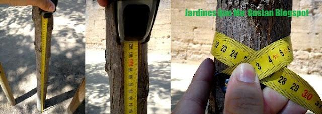 Medición del calibre de un árbol