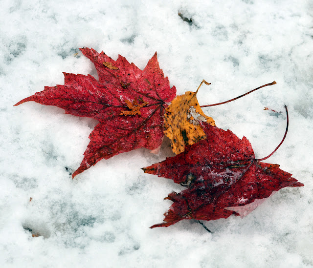 new snow and red maple leaves