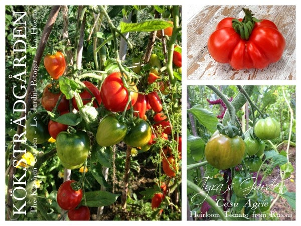 Tomato Cesu Agrie