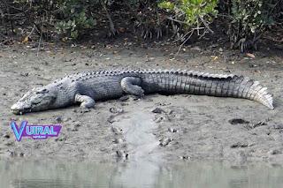 Contoh Hewan Reptil Buaya Muara