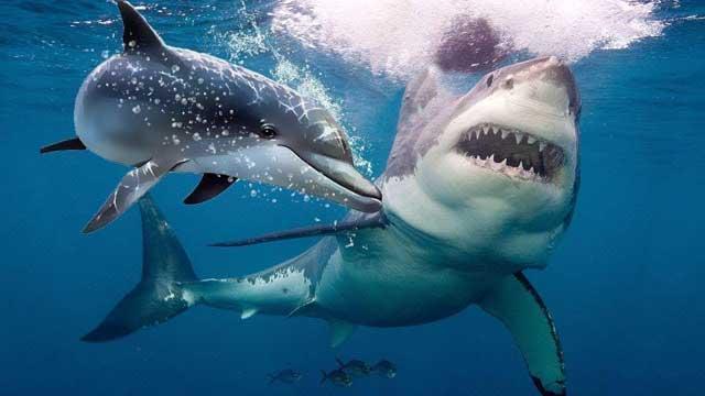 Lumba-Lumba Bisa Menang Melawan Hiu