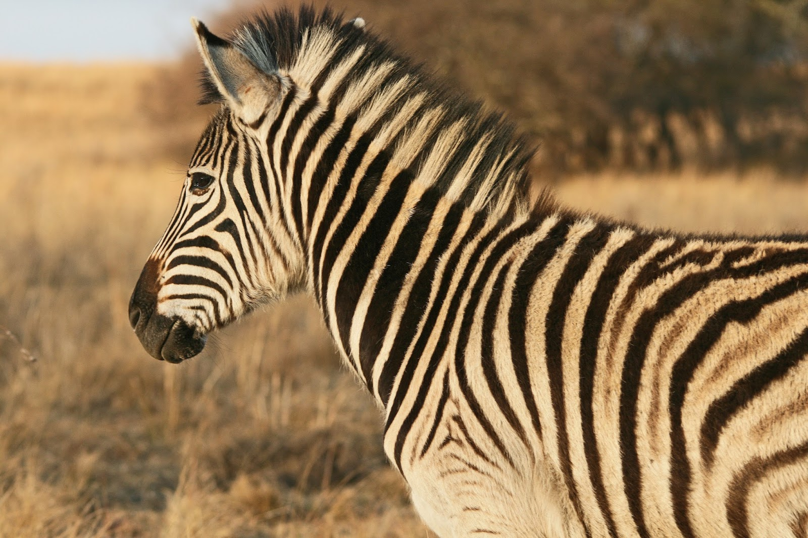 general information on the zebra advantages and disadvantages animal
