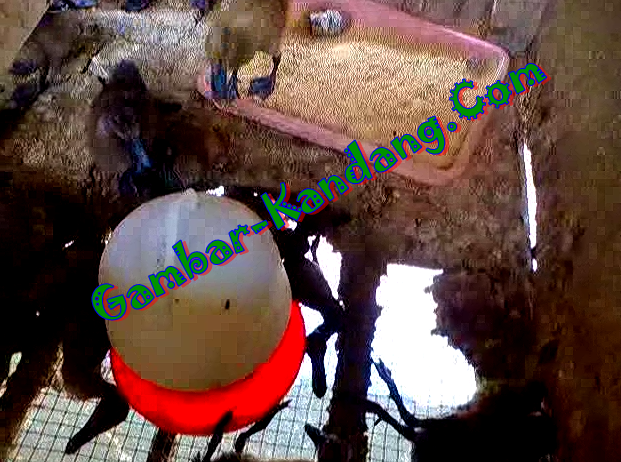 Menilik Model Kandang Bebek Petelur Di PT Kepurun Pawana Indonesia