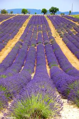 Il viola dei campi di lavanda in Provenza