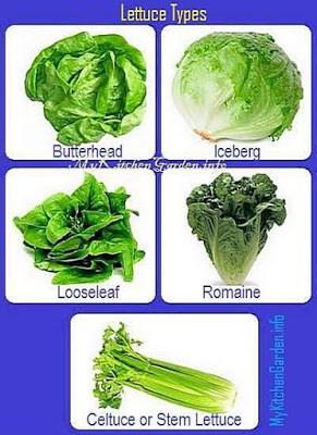 Growing Lettuce Planting And Harvesting Lettuce Plants